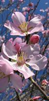Może być zdjęciem przedstawiającym kwiat, drzewo pestkowe i przyroda